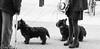 Scottie dogs (judy dean) Tags: judydean 2016 sonya6000 cheltenham dogs feet shoes scotties scottishterriers black leads shopping meeting