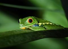 Red-eyed tree frog (anacm.silva) Tags: redeyedtreefrog frog rã wild wildlife nature natureza naturaleza anfíbio costarica sarapiqui lowlands centralamerica rãdeolhosvermelhos