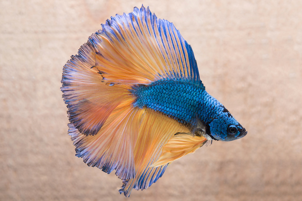 The world 39 s best photos of betta and pet flickr hive mind for Pet betta fish