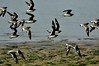 DSC_0260 (Suman_1976) Tags: nikond700 300mmf4 14eiitc birds wildlife indianwildlife chupichar migratory