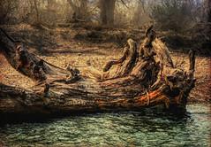 In repose (flowerweaver) Tags: landscape waterscape tree fallen river wood trees gravel rocks change power flood baldcypress