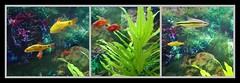 Couleur et sérénité. (busylvie) Tags: triptyque aquarium poissons exotiques couleurs collage