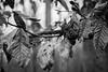 Monochrome leaves (petcoffr) Tags: 2016 d200 december haymarket nikon nikond200 russpetcoff russellppetcoff russellpetcoff virginia trees