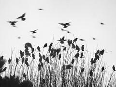 MIGRATION #2 (didi tokaoui) Tags: didi tokaoui photo migration birds black and white noir et blanc