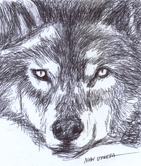 lobo a lapicero (ivanutrera) Tags: draw dibujo drawing dibujoalapicero animal sketch sketching wild wildlife wolf lobo ilustracion lapicero pen boligrafo dibujoaboligrafo