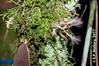 2017-02-03 TEC-3253 Zygia peckii - E.P. Mallory (B Mlry) Tags: 2017 6leaflets1pinnate tec belize belizezoo compoundleaf fabaceae flora leafstructure mimosoideae simplefruit tbz transitionforestlongtrail tropicaleducationcenter zygiastevensonii cauliflorous dehiscentdryfruit elongatebean podsplittingintohavesalong2seamswhendry foliage fruit habitat insitu legumbre legume trails type democracia