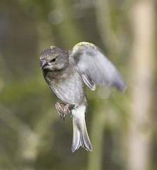 _DSC5618e (Paul.Pics.) Tags: bird feathers green nikon d500 sigma150600c calke abbey wildlife yellow fast small flight dof