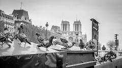 Pigeon in Paris (sigmanow) Tags: parisbw120mmrolleiflex rollei kodak epson v700scan paris pigeons noirblanc city europe notredame film analogue
