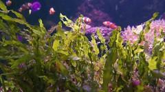 Clown fish (Amphiprion ocellaris) swimming around anemone (Ian Redding) Tags: clownfish amphiprionocellaris regaltang paracanthurushepatus bubbletipanemone anemone shoal school entacmaeaquadricolor seaanemone commonclownfish actiniidae swimming common clownfishes aquarium marine cnidaria actiniaria anemonefish bulbous tentacles tropical pink invertebrate wildlife nature fauna