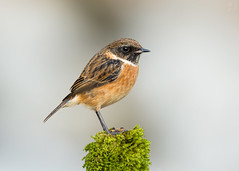 Stonechat (Max Thompson Photography) Tags: nature wild wildlife somerset south west england uk stone chat stonechat berrow sands brean down bokeh depth detail high key light sunset evening north bird
