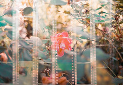 Visions on Film (thomas_anthony__) Tags: canon a1 fuji superia 400 film 35mm analog filmstrips strips sprocket holes flower bush rose roses leaves plants thorns branches twigs bokeh double exposure multiple pink green blue yellow outdoor garden