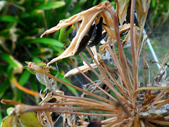 Potential (jo.elphick) Tags: dalmeny nsw australia agapanthus seeds black