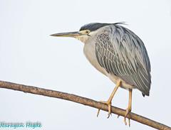 Striated Heron (Nanimuroor) Tags: canon 80d muroor nature karnataka birds birdsofmuroor butoridesstriata striatedheron