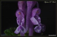 Macro con 70-200... inverso - Marzo-2017 (agostinodascoli) Tags: fiori macro nature texture piante cianciana sicilia nikon nikkor