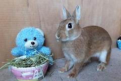 Ichigo san 599 (Ichigo Miyama) Tags: いちごさん。うさぎ。 rabbit bunny netherlanddwarf brown ichigo ネザーランドドワーフ ペット いちご うさぎ