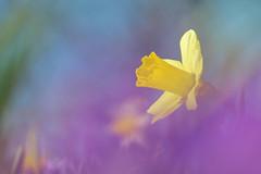 আরো আলো আরো আলো..... (pallab seth) Tags: macro dof spring flower barking park england london signofspring bokeh nature daffodil garden springgarden barkingpark yellow blue 2017 samsung60mmf28macroedoisssalens samsungnx1