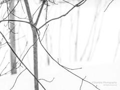 Whiteout (Skyelyte) Tags: blizzard blizzardstella whiteout connecticut noreastern snow wind trees woods sticks nature white weather cold monochrome blackandwhite tree black stella newengland winter centralconnecticut outdoors outside skyelyte frigid extremeweather blast
