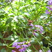 Bad picture of a clear wing hummingbird moth