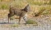 BOBCAT CUB (sea25bill) Tags: california nature animal cat mammal cub feline wildlife young bobcat carnivore 2012 lynxrufus inthewild