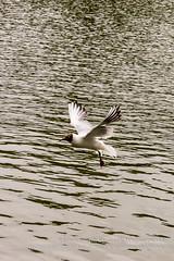 Black headed gull in flight E (Jacek Wojnarowski Photography) Tags: park uk summer england bird nature water animal vertical bristol europe adult outdoor wildlife front left seabird blackheadedgull 6x4 dayphotography brownheadedgull