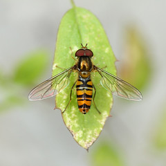 Marmalade Hoverfly ( Episyrphus balteatus ) (steve whiteley) Tags: macro nature insect hoverfly episyrphusbalteatus marmaladehoverfly