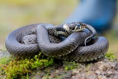 ringed snake (a3aanw) Tags: snake serpent slang natrixnatrix ringslang ringedsnake nikkor105mmf28gvrmicro