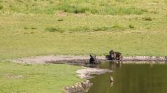 Getting Some More Sun (killpopsicle) Tags: nature wildlife piglet piglets wildboar eriksberg wildboars