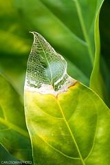 73/365 (carlos7omar) Tags: autumn naturaleza verde green hoja nature yellow leaf foto otoño 365 belleza hermosura project365 strobist 365project proyecto365 365proyecto