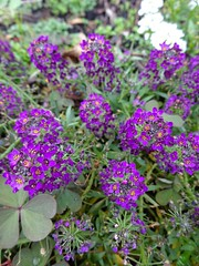 Purple Alyssum (Chancelrie) Tags: plant flower garden outdoor alyssum