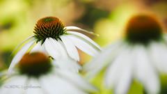 """Echinacea purpurea with pastel shades  [explored] (NORDIC Lightbeams) Tags: white macro blossom echinacea bokeh coneflower makro blüte sonnenhut weis mft olympuszuiko weisersonnenhut microfourthirds echinaceapurpurea""""whiteswan"""" ed40150mmf28"""