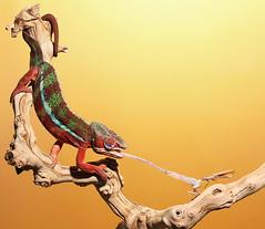 Chameleon Grabs Mantis By Neck (scott cromwell) Tags: tongue mantis eating reptile lizard chameleon prayingmantis pantherchameleon ambilobe