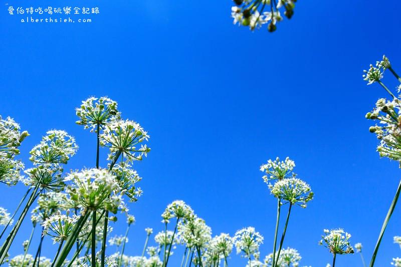 大溪韭菜花季節.韭月雪(九月雪)(美麗浪漫的初秋雪白花海美景)