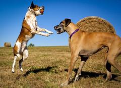 Australianshepardmidairgreatdane (dmussmanphotography) Tags: dog pet dogs animal fun jumping humorous frolic games greatdane catch australiancattledog carefree leaping interaction breeds greatdanes sillydog energetic cavorting funnydogs playingdogs