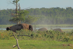 Bison dust bath (steveboer.com) Tags: wood nationalpark buffalo bath alberta dust plains elkisland bison animalplanet dustbath