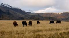 Laugarvatnsvllum (oeiriks) Tags: autumn horse mountain grass iceland klfstindar oeiriks sonyalpha350 laugarvatnsvellir