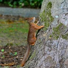 Squirrel (Michiel2005) Tags: holland tree netherlands animal squirrel nederland boom chestnut dier eekhoorn kastanje