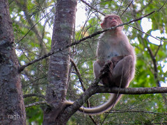 now alone (raghphotography) Tags: wyanad raghphotography kerala forest canon ragh 520hs wayanadwildlifesanctuary alone monkey