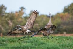 Sandhill  Crane -  Crane Dance 1 (digithief) Tags: ca cambridge ontario canada birds nikon sandhillcranes d800 caranedance