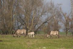 Ger_Loeffen_20101122_0173 (overenweer) Tags: holland netherlands europa europe nederland beuningen gelderland konik nld konikpaarden konikpaard gerl2010