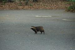 DSC_1509 (My many travels) Tags: japan tokyo shrine shibuya tanuki   raccoon  shinto meiji jingu