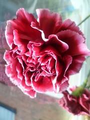 FB_IMG_1445158621929 (Nicolaspeakssometimes) Tags: flower