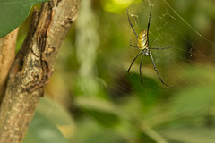 Spider (DBKica) Tags: london zoo golden orb spyder weaver
