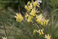 "Yellow Columbine • <a style=""font-size:0.8em;"" href=""http://www.flickr.com/photos/63501323@N07/22548206837/"" target=""_blank"">View on Flickr</a>"