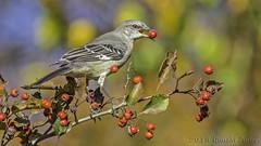 Northern Mockingbird with Hawthorne Berry IMG_6292 (ronzigler) Tags: bird nature canon 14 northern mockingbird avian songbird birdwatcher 420mm 300mmf4l