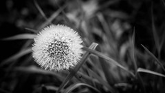 Dandelion (Le Resident) Tags: bw white black flower fall nature nikon bokeh dandelion 50mmf18 makeawish d5200