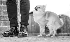 Boo the Pomeranian. . . and some Dr Martens. (CWhatPhotos) Tags: pictures camera b red portrait pet white cute slr love dogs digital canon pose that photography boot poser pom cool toe foto hole image boots artistic pics dwarf 10 lace dr steel name iii small picture posing canine pic images have photographs chrome cap photograph fotos 5d pomeranian marten which spitz docs laces contain pompom martens grasp dms laced oxblood chromed doig toecap pomeranium zwergspitz cwhatphotos 5diii dwarfspitz affectiondm