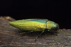 IMG_9885-0(W) A beautiful metallic wood-boring beetle (family Buprestidae) (Vince_Adam Photography) Tags: metallic beetle malaysia serangga kumbang jewelbeetle woodboringbeetle familybuprestidae kumbangemas