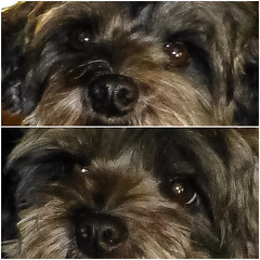 Irresistible eyes ! (Dark YorkiPoos) Tags: yorkie mix small fluffy terrier poodle mia kia yorkiepoo hypoallergenic