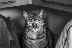 Hiding Place (christopherjwaddell) Tags: blackandwhite pet monochrome animal cat nibbler d3200
