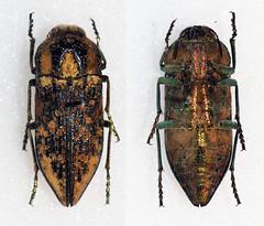 Achardella denticollis (Bennyboymothman) Tags: buprestidae taxonomy:binomial=achardelladenticollis achardella